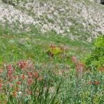 Wildflowers on Teton Pass