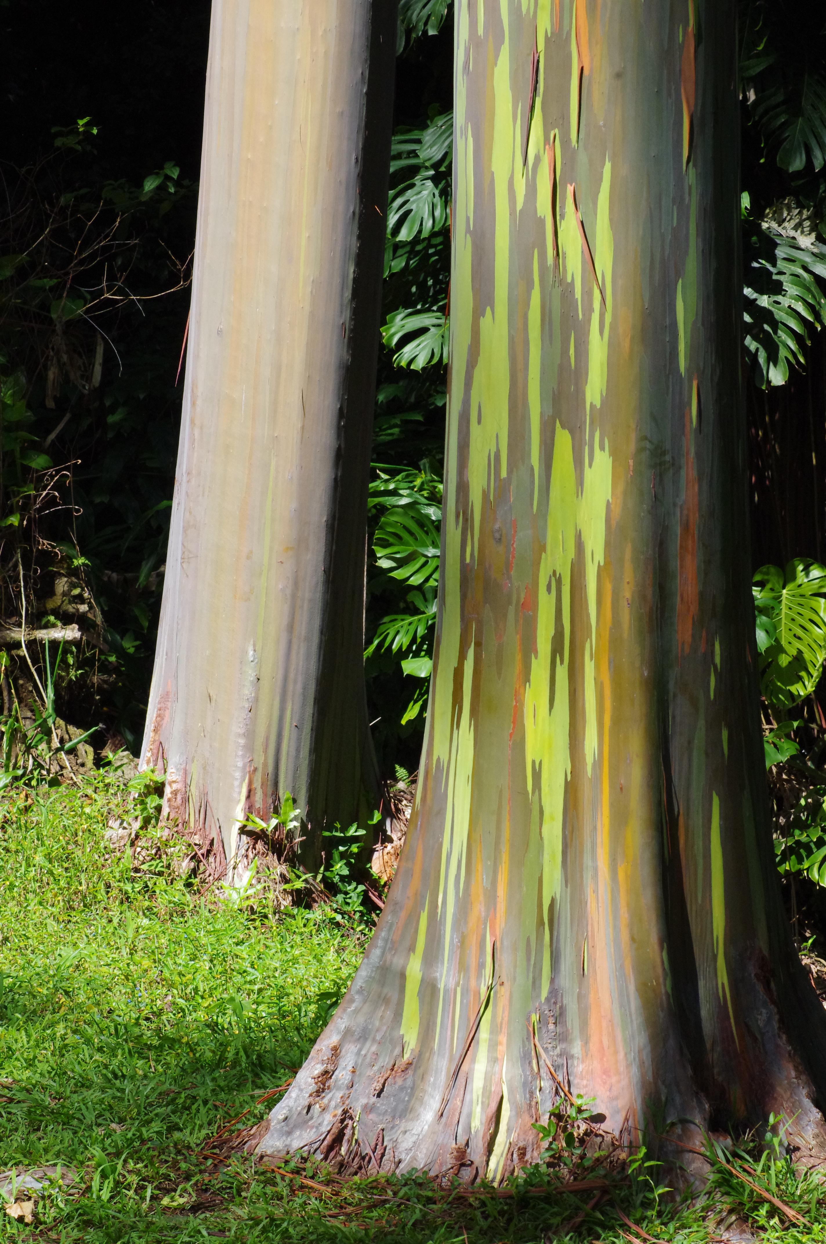 Rainbow Eucalyptus at Keanae Arboretum